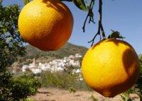 Comprar naranjas valencianas.jpg